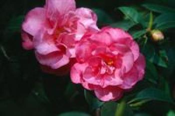 Camellia ShiShiGashira a new super choice.